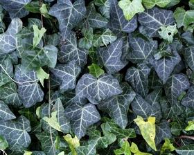 Les 5 plantes anti cellulite2
